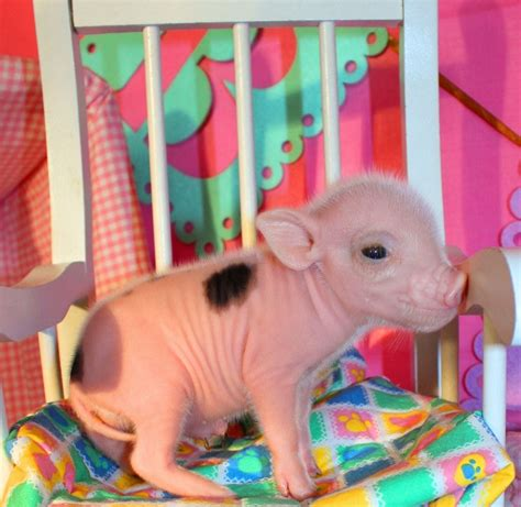 Oink Oink Mini Pigs Teacup Piglets Pinterest