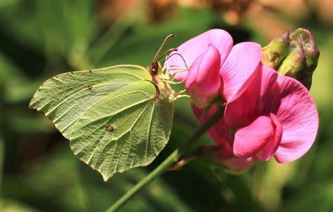 Interessante Ideenfuss Schmetterling interessante fakten 252 ber schmetterlinge f 252 r kinder