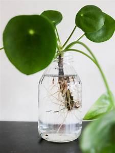 Bouture Plante Verte : bouturer bouturage pilea 5 plantes boutures jardinage et plante jardin ~ Melissatoandfro.com Idées de Décoration