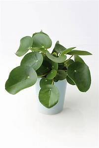 Pilea Pflanze Kaufen : pilea peperomioides plants garden pinterest ~ Michelbontemps.com Haus und Dekorationen