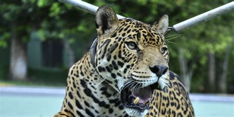 Why Should A Jaguar Be Displayed As A Mascot To Begin With ...