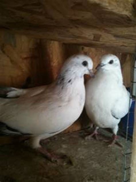 pair of high flier tippler pigeons vancouver canada