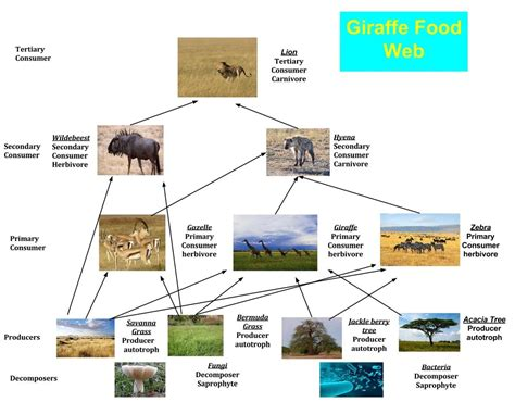 web cuisine giraffe food web