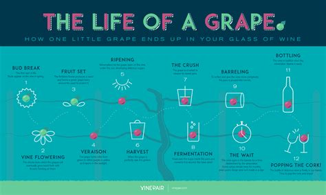 lifespan of a the life of a grape infographic vinepair