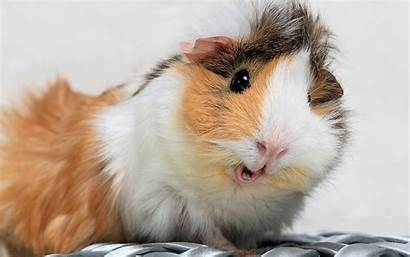 Guinea Pig Pigs Wallpapers Christmas Funny Domestic