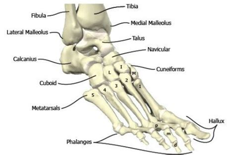 Bones In The Foot And Ankle Region. Medial-lateral View Of