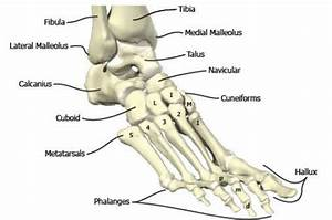 Bones In The Foot And Ankle Region  Medial