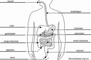 Heidi Montag Fashion  Digestive System Diagram Labeled