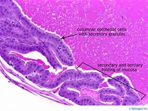 Epithelium Histology - Simple columnar epithelium (labels ...