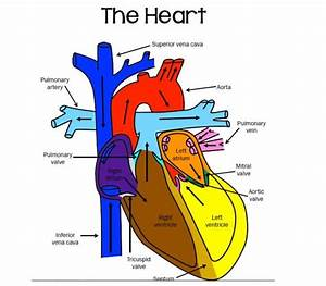 Parts Of The Heart Image With Labels  U2013 Mrs  Derochers