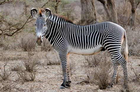 animals zebra extinct going giraffes squirrels species endangered horses know treehugger animalia bio grevy population trend