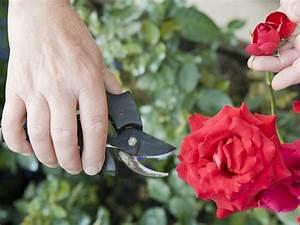 Rosen Schneiden Zeitpunkt : rosen schneiden hilft ihnen dabei richtig vorzugehen pflege tipps garten ~ Frokenaadalensverden.com Haus und Dekorationen