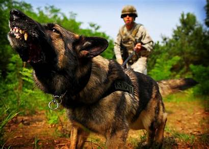 Dog Shepherd German Police War Animals Wallpapers