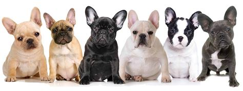 frenchie colors shop the blissful bulldog collection frenchies