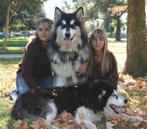 25 best ideas about giant alaskan malamute on pinterest