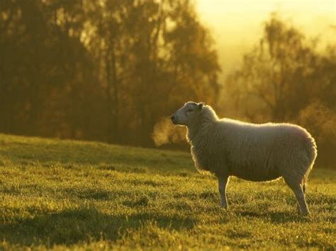 sheep  field  cold morning scotland photographic