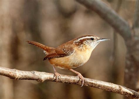 carolina wren for the birds pinterest