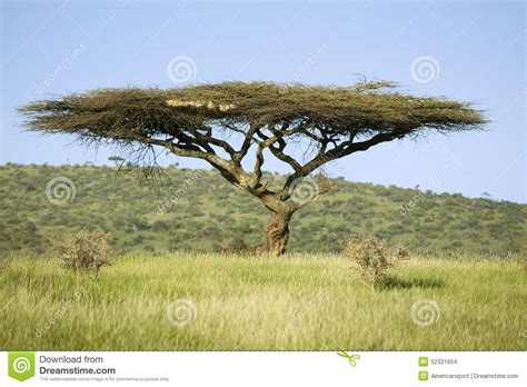 Mnt Stands For by Acacia Tree In Green Grass Of Lewa Wildlife Conservancy