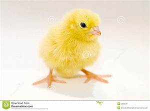Yellow Baby Chick Royalty Free Stock Photography - Image ...