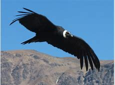 National Bird Of Bolivia Andean Condor 123Countriescom