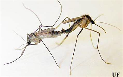 Crabhole Mosquito Deinocerites Cancer Theobald