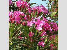 Australian Seed NERIUM oleander