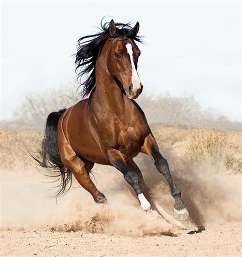 The Arabian | rachelshorseblog