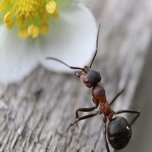 eliminare le formiche dal giardino come eliminare le formiche dal giardino guida e prodotti