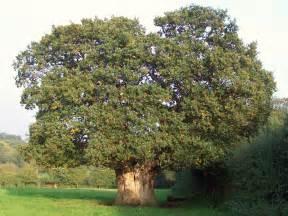 file oak tree jpg
