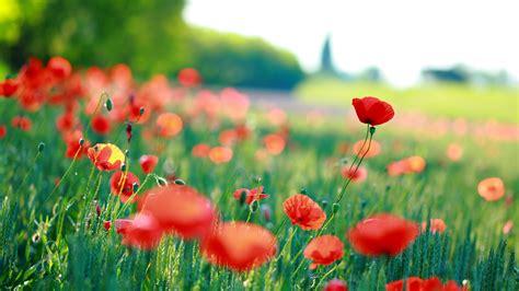 wallpaper poppies hd flowers