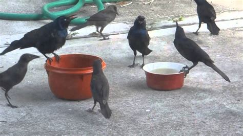 hilarious and ironic video of several black birds eating