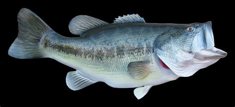 Images Of Bass Fish Largemouth Bass Fish Mount And Fish Replicas Coast To Coast