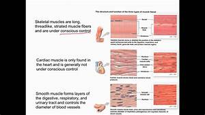 Muscular Tissue Overview