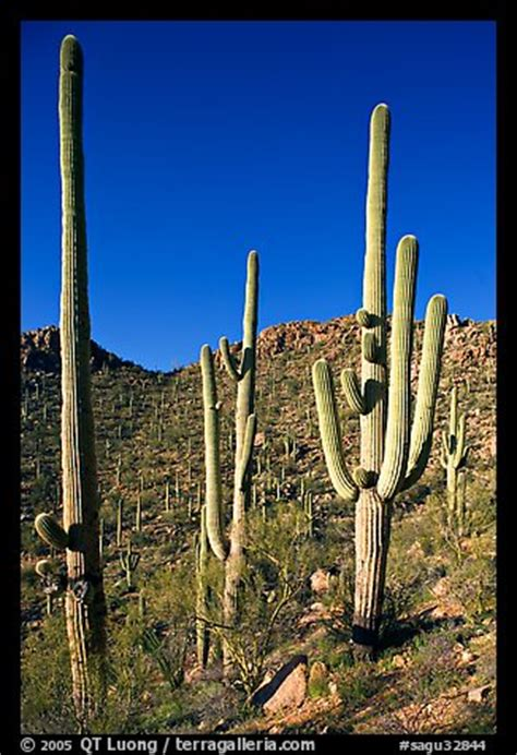 picturephoto tall saguaro cactus scientific