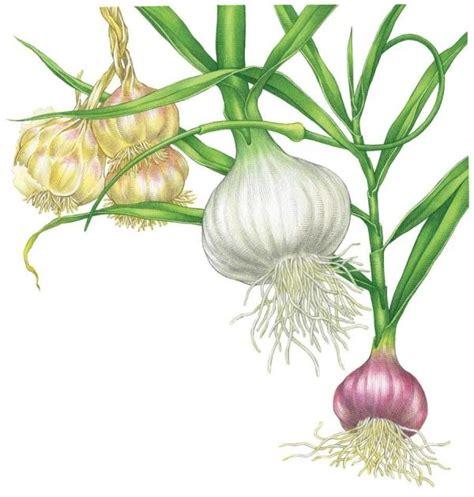 all about growing garlic organic gardening