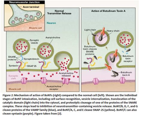 botulinum toxin mechanism of action