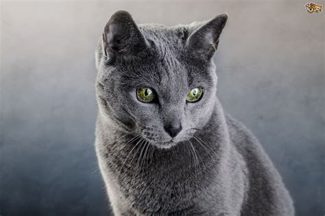 Blue Cats - russian blue cat breed facts highlights advice