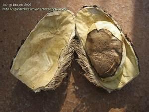 Planter Noyau Mangue : mangue noyau ouvert fruits graines noyaux exotiques ~ Melissatoandfro.com Idées de Décoration