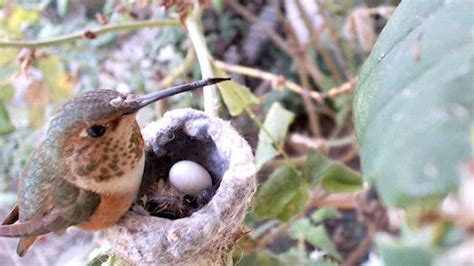 hummingbird nest cam stem pinterest