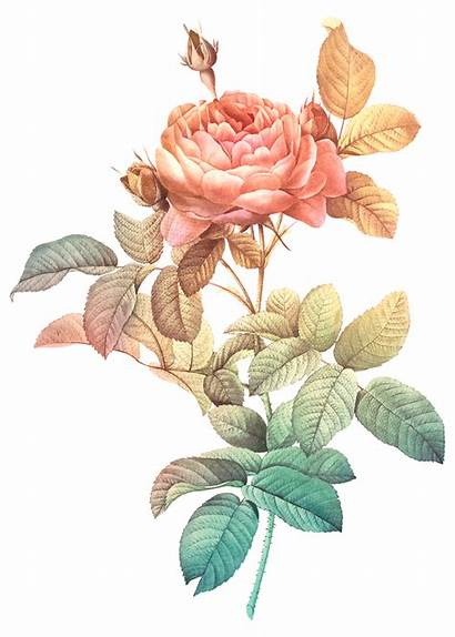 Rawpixel Transparent Rose Flower Floral Pierre Joseph
