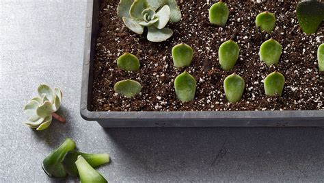 propagating succulents  plant hundreds  babies