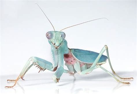 praying mantis colors praying mantis colors menagerie