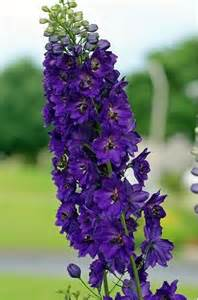 Dark Purple Delphinium Flower