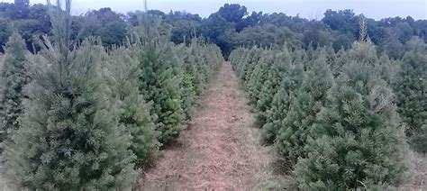 christmas trees northern va virginia tree farms virginia is for