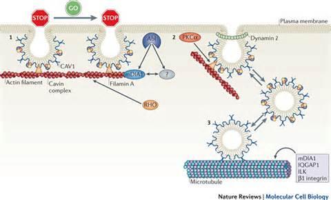 Plasma Membrane and Cytoskeleton