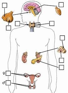 Endocrine Glands Quiz