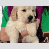 White German Shepherd Lab Mix Puppies   640 x 480 jpeg 57kB
