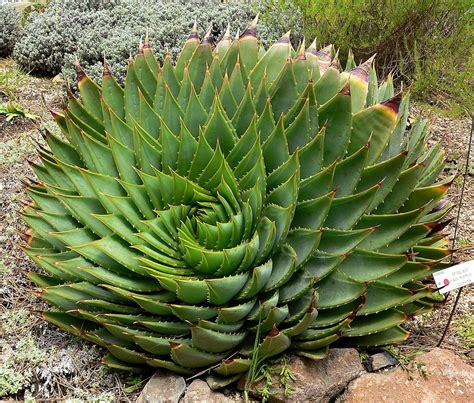 Phyllotaxis Wikipedia