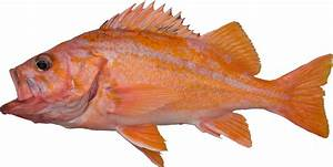 Canary Rockfish (Variant) – RecFIN