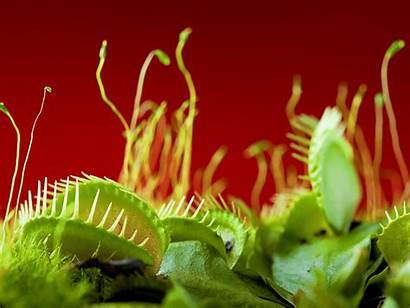 Plant Carnivorous Garden Venus Wallpapers Fly Insectivorous